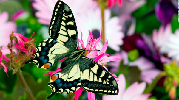 Pink flower, black & white butterfly