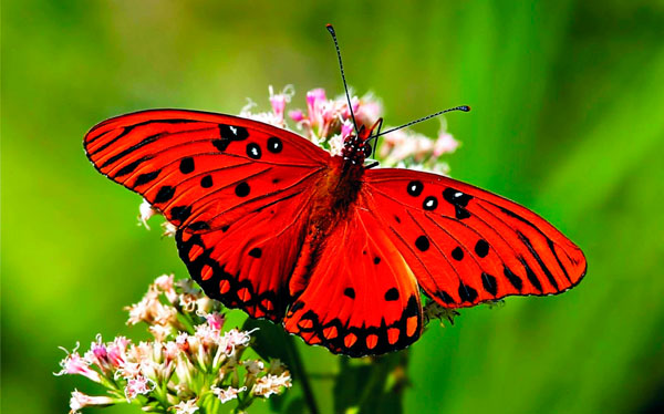 Pink & white flower, red butterfly
