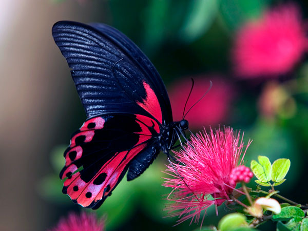 Pink flower, black & red butterfly